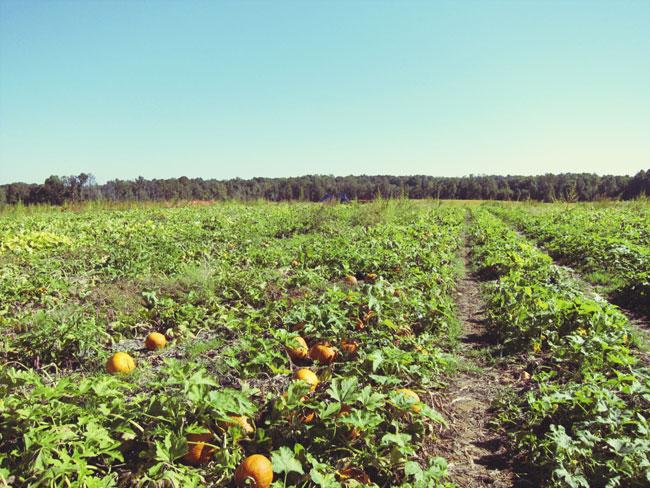 pumpkin-field-web