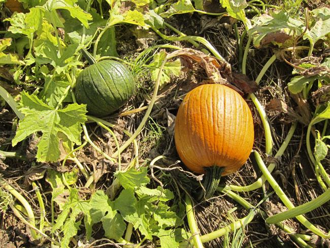 two-pumpkins-web
